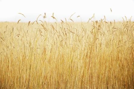气候变化对农作物影响几何?