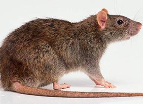 """研究揭示老鼠1.5万年前与人""""共舞"""""""