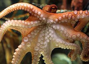 深海章鱼嗜食水母