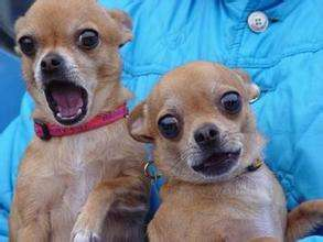 犬类能用面部表情交流