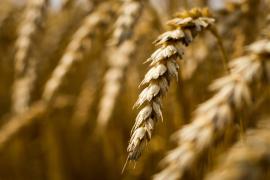 气候变化影响面包口感?