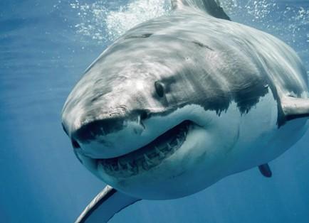 鲨鱼停止游动就会死?