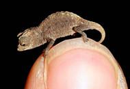 盘在硬币VS站在指尖 谁才是世界上最小的爬行动物?
