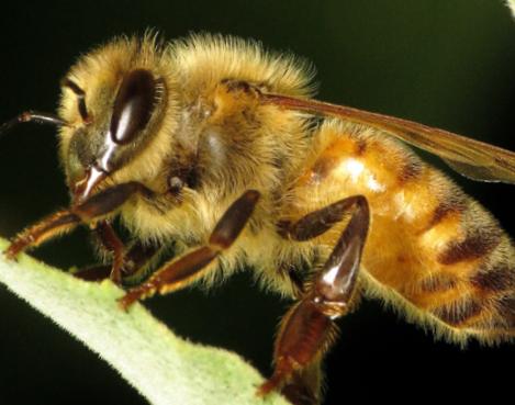 陪着蜜蜂长大的细菌小伙伴