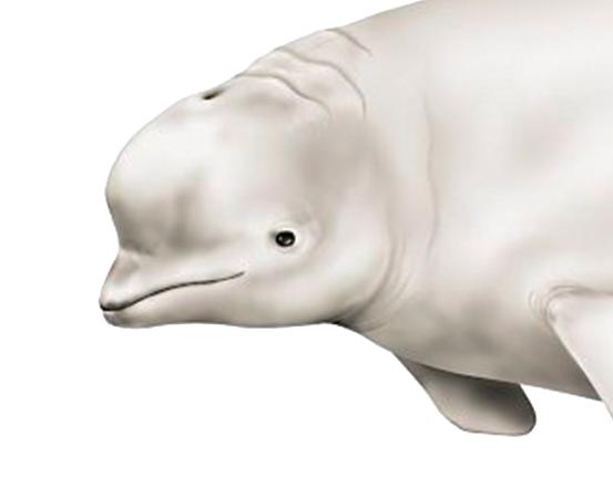 白鲸也要度暑假