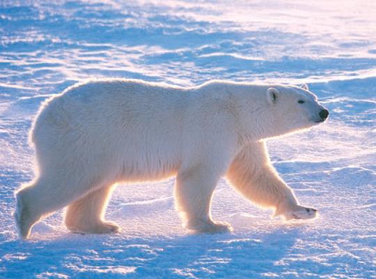 """偶遇北极熊,如何避免""""亲密接触"""""""