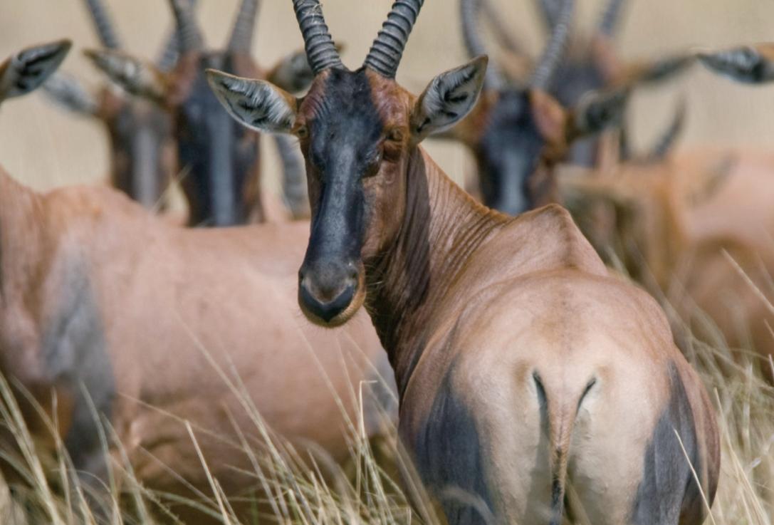 稀树草原的异类羚羊