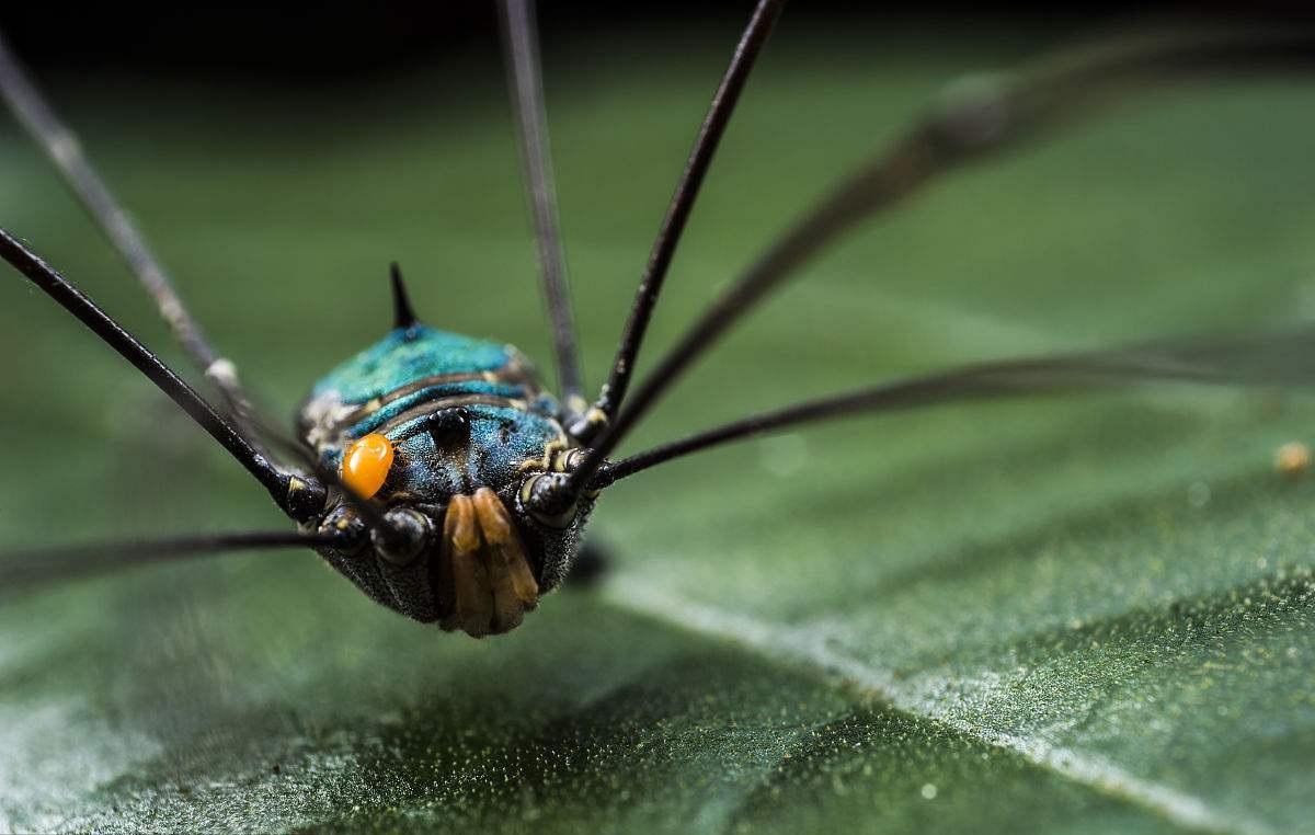 长腿盲蛛在直播