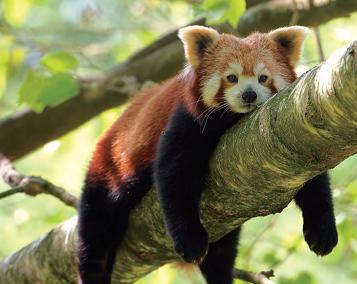 国宝探秘之小熊猫