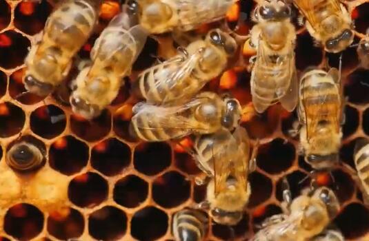 【科学美国人】为什么蜜蜂不过父亲节