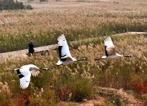 黄河口湿地,那片丹顶鹤的世界