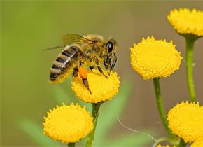 为什么蜜蜂不过父亲节