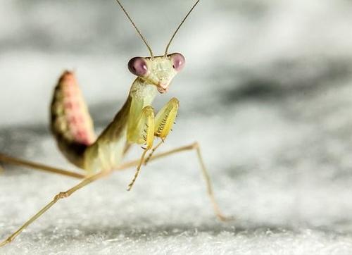 野心勃勃的螳螂发现了生鱼片