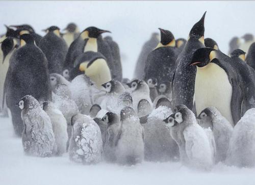 冰上行者帝企鹅