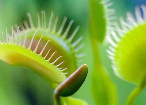 捕蝇草是怎么吃虫子的?