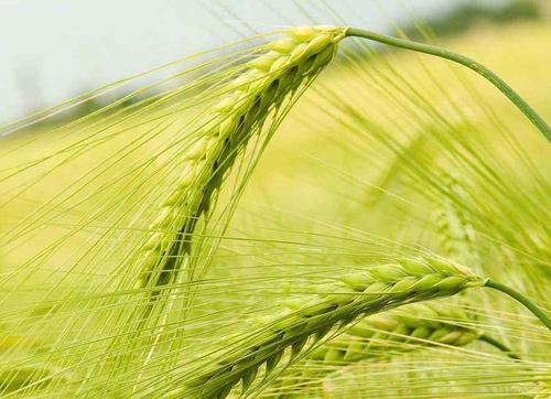 抗病农作物是怎样培育的