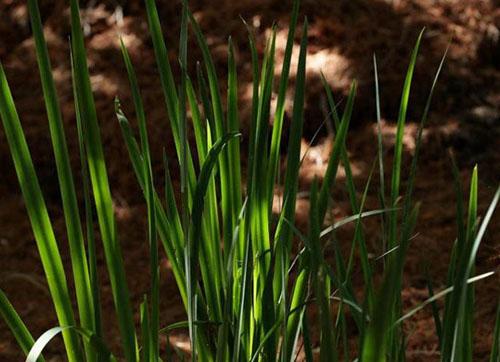 植物中发现新的温度感知机制