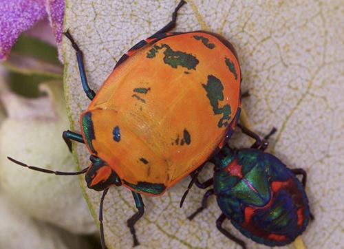 昆虫用多种颜色来躲避天敌