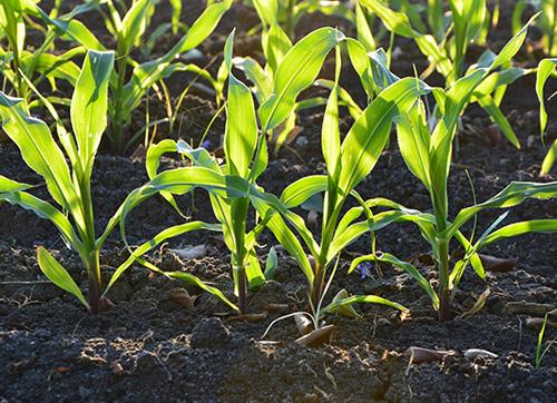 外来植物加速土壤中的碳流失