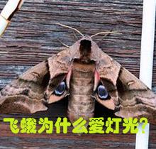 飞蛾为什么爱灯光?