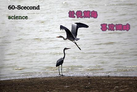 【科学60S】迁徙候鸟喜欢湖畔