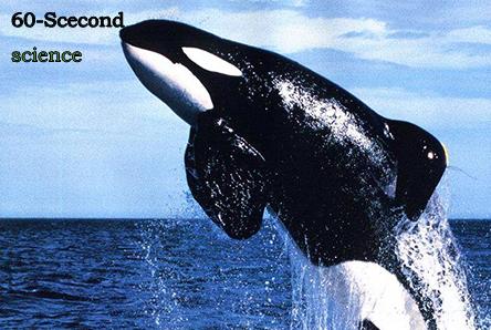 【科学60秒】成年雌性虎鲸可能引发它们母亲进入绝经期