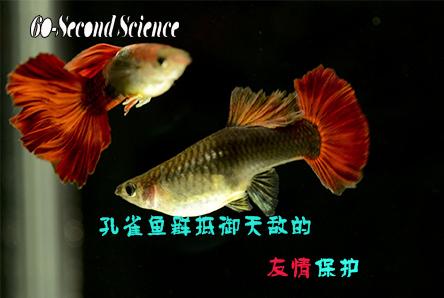 【科学60S】孔雀鱼群抵御天敌的友情保护