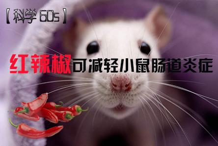【科学60S】红辣椒可减轻小鼠肠道炎症